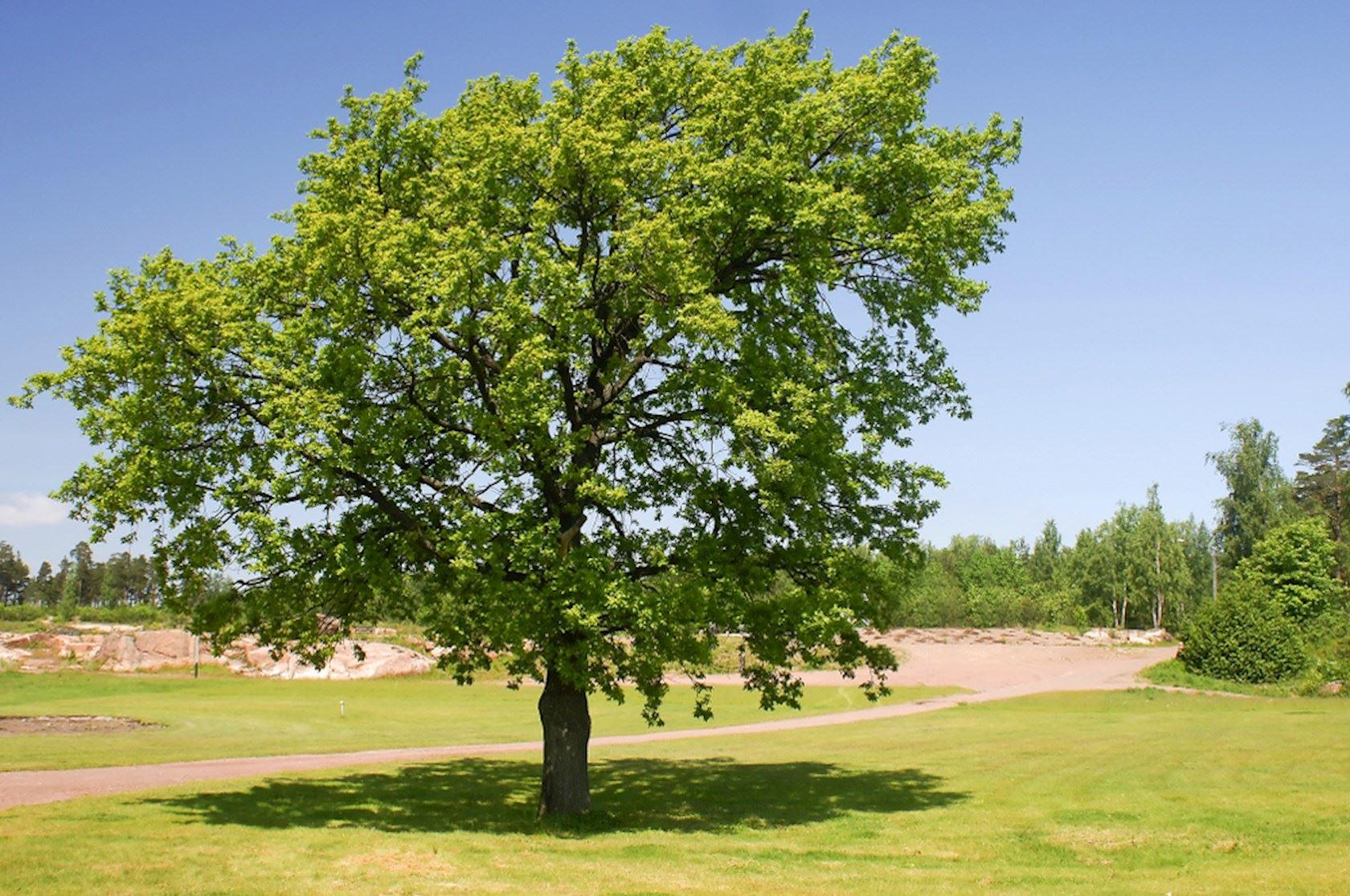 plantenfiche-quercus-robur-16519